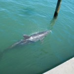 Dolphin-by-Seawall